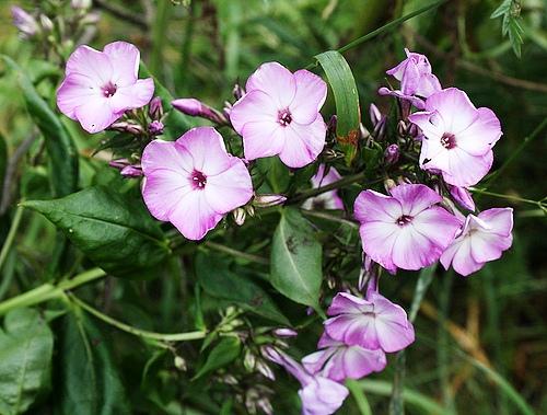 Phlox paniculata флокс метельчатый