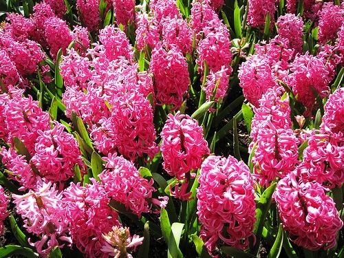 Pink Hyacinth розовый гиацинт