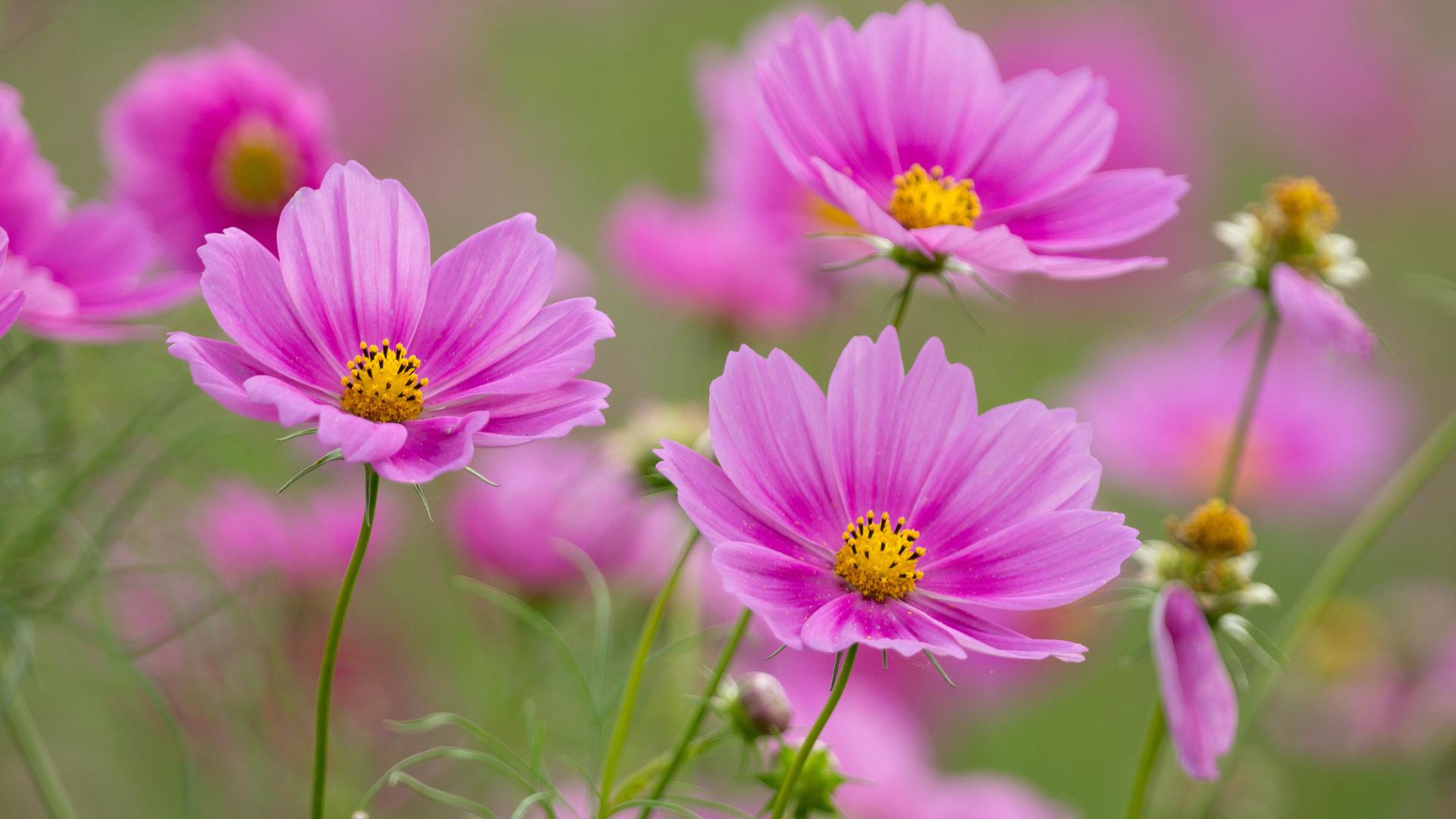 Космея Pink Cosmos