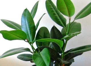 Фикус каучуконосный Ficus elastica