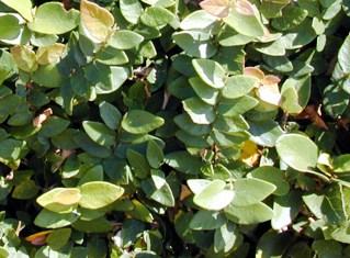 Фикус карликовый Ficus pumila