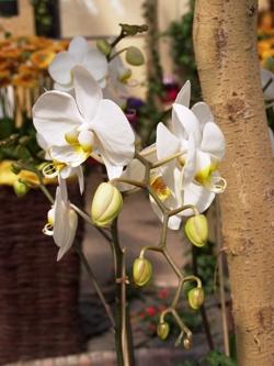Орхидея Фаленопсис, Orchid Phalaenopsis, орхидея фото