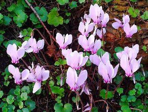Цикламен Неаполитанский, Cyclamen neapolitanum, Cyclamen hederifolium, цикламен фото